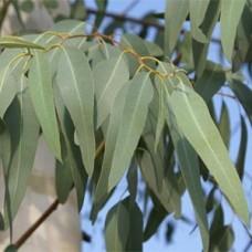 கற்பூரத்தைலமரம்